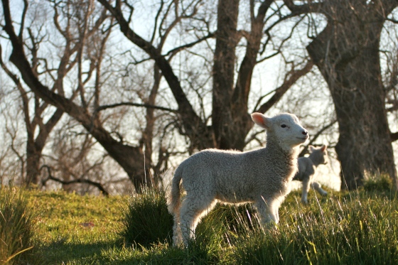 Baby Sheep One Tree Hill
