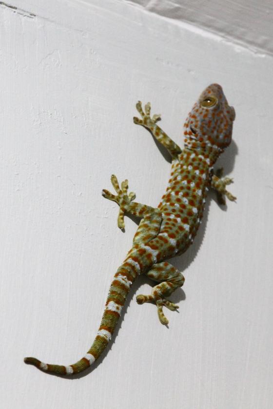 massive gecko