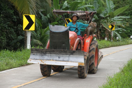 Monkey riding a tractor