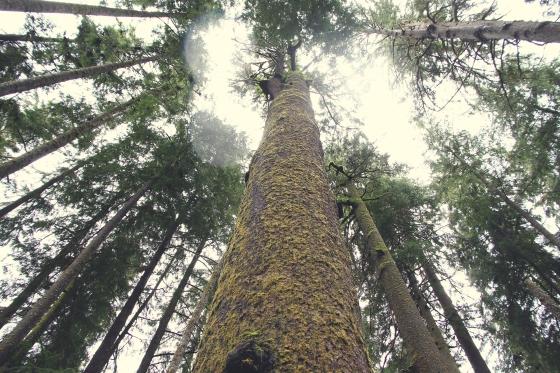 Cedartrees.Victoria